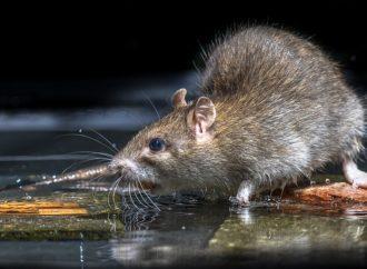 Deratyzacja – zwalczanie szkodliwych gryzoni